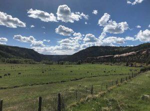 Pasture Raised Cows