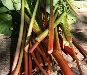 Garden Rhubarb